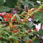 En Salvia haenkei