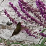 En Salvia leucantha