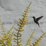 En Salvia madrensis