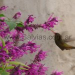 En Salvia purpurea