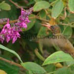 En Salvia purpurea