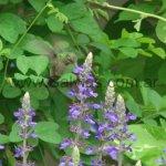 En Salvia Mystic Spires