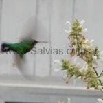 En Salvia canariensis