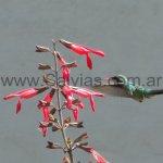 En Salvia gesneriflora