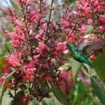 En Salvia karwinskii