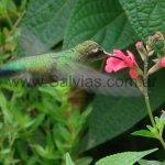 En Salvia microphylla