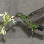 en Salvia greggii