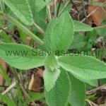 Salvia tomentella