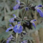 image salvia-trifilis-close-up-jpg
