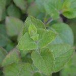 image salvia-trifilis-flower-bud-jpg