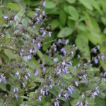 image salvia-trifilis-flowers-group-jpg