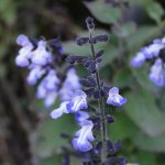 Salvia trifilis
