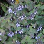 image salvia-trifilis-garden-jpg