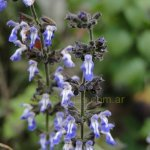image salvia-trifilis-group-jpg