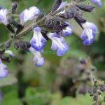 image salvia-trifilis-inflorescence-jpg