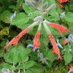 Salvia tubiflora
