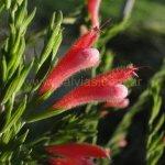 image salvia-tanitani-flower-jpg