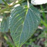 image salvia-tanitani-leaf-jpg