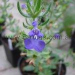 Salvia texana