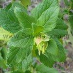 Salvia thormannii