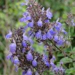 Salvia thyrsiflora