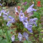Salvia tomentosa