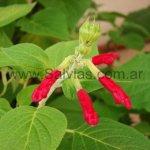 Salvia tubifera