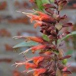 Salvia tuerckheimii 'Dark Calyx'