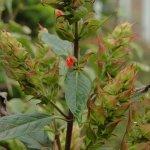 Salvia tuerckheimii 'Green Calyx'