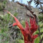 Salvia tuerckheimii en hábitat
