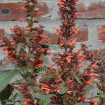 image salvia-tuerckheimii-darc-calyx-inflorescence-jpg