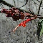 Salvia tuerckheimii