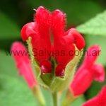 Salvia univerticillata