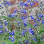 Salvia urica