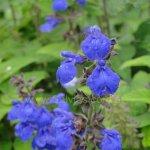 Salvia urica 'Compacta'