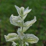 image salvia-viridis-bracts-jpg