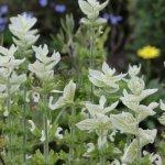 Salvia viridis 'Alba'