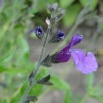 Salvia 'Violin Music'