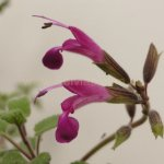 image salvia-vargas-llosae-inflorescence-jpg
