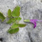 Salvia vargas-llosae