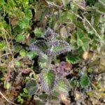 image salvia-vargas-llosae-leaves-jpg