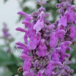 image salvia-variana-flowers-jpg