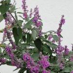 image salvia-variana-plant-jpg