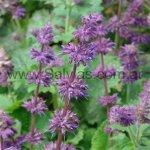 S. verticillata 'Purple Rain'