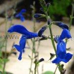 Salvia vitifolia