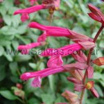 Salvia 'Wendy´s Wish'