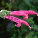 Salvia x westerae 'Petra'