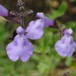 Salvia x jamensis 'Cavaliero Celeste'