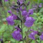 Salvia x jamensis 'Javier'