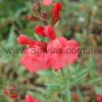 S. x jamensis 'Peach' (de hojas finas)